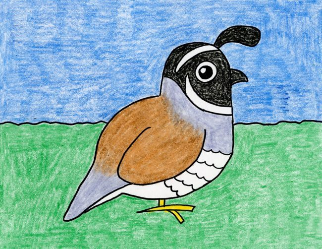 How to draw the California Quail